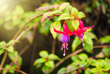 Beautiful Fuchsia flowers in garden.Thailand.