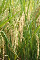 close up on ripe yellow rice plant