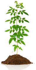 jeune arbuste, schinus terebinthifolius sur motte de terre, fond blanc
