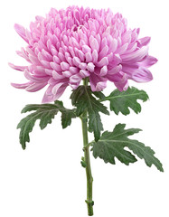 Purple chrysanthemum flower head
