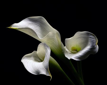 White Cala Lillies 1214