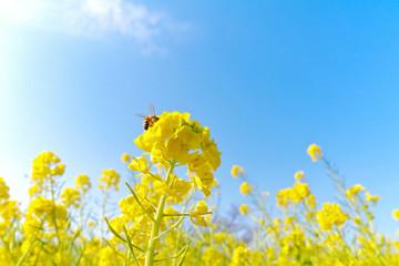 菜の花と蜜蜂と青空