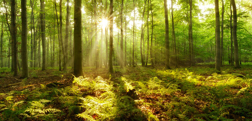 Foto op Canvas Bos Forest of Beech Trees illuminated by sunbeams through fog, ferns covering the ground