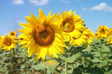 Sunflower field landscape