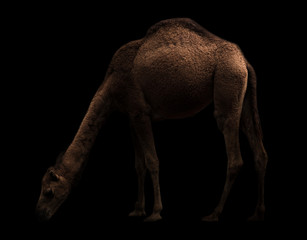 arabian camel standing in the dark