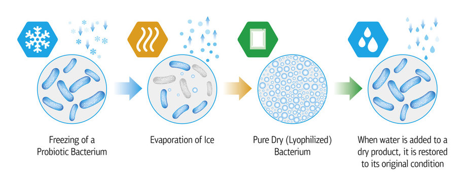 Medical illustration of the lyophilization process of probiotic bacteria