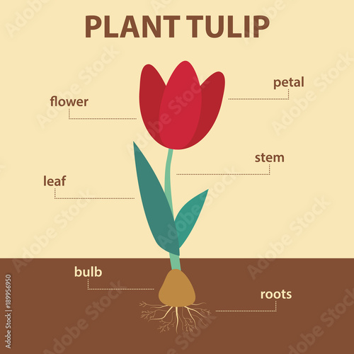 Vector diagram showing parts of tulip whole plant agricultural vector diagram showing parts of tulip whole plant agricultural infographic scheme with labels for education ccuart Images
