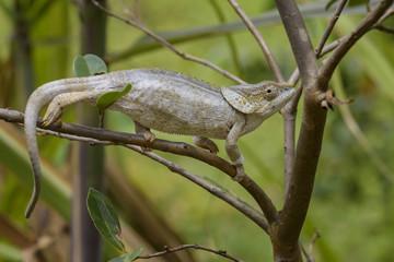 Short-horned Chameleon - Calumma brevicorne, Madagascar rain forest. Beautiful coloured lizard.