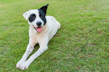Happy black and white dog on green grass