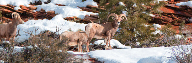 Group of Bighorn Sheep (ovis canadensis) on sunny winter day in Zion National Park in Utah United States