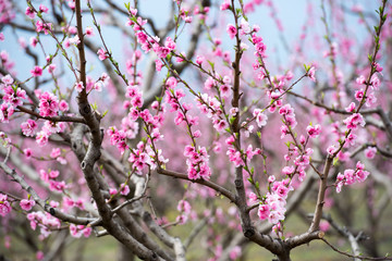 Cherry blossom and peach blossom trees in an orchard
