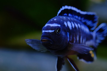 African cichlid fish colorful aquarium