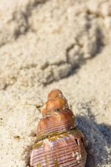 Color outdoor image of a single isolated stranded orange sea snail  on a fine white sand beach near Cape Town, South Africa, taken on a sunny bright day