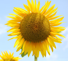 sunflower with yellow petals in summer and blue sky background