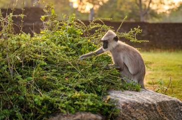 Gibbon looking for something to eat, Sri Lanka