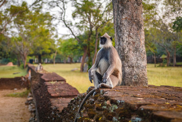 Gibbon monkey sitting and looking around, Sri Lanka