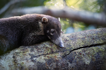 Portrait of young White-nosed coati, Nasua narica, resting on tree trunk, staring directly at camera, isolated on forest background. Coatimundi in its typical forest habitat. Wild animal in Costa Rica