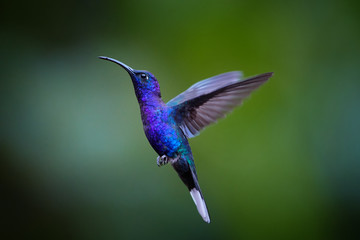 Close up blue hummingbird, Campylopterus hemileucurus, glittering Violet Sabrewing hovering in the air against abstract, colorful, dark green tropical background. La Paz Garden, Costa Rica.