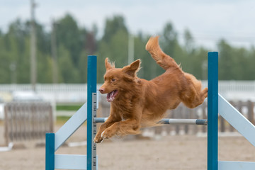 Nova Scotia Duck Tolling Retriever jumps over an agility obstacle in agility competition