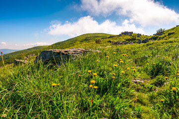 yellow dandelions on the grassy slope. lovely nature scenery on a summer day in fine weather