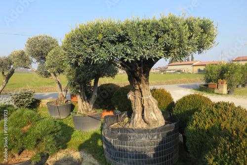 Pianta d 39 ulivo secolare in vaso immagini e fotografie for Albero ulivo vettoriale