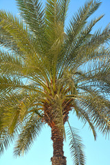 Dates Palm tree in Abu Dhabi, United Arab Emirates