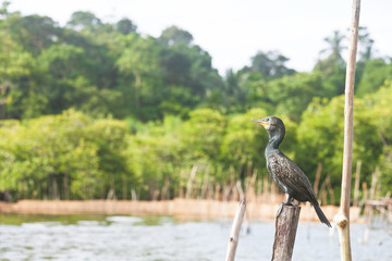 Madu Ganga, Balapitiya, Sri Lanka - Great cormorant sitting on a tree stump