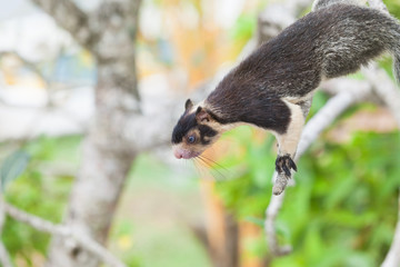 Madu Ganga, Balapitiya, Sri Lanka - Indian Giant Squirrel sitting on branch