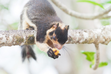 Madu Ganga, Balapitiya, Sri Lanka - Indian Giant Squirrel sitting on branch eating some food