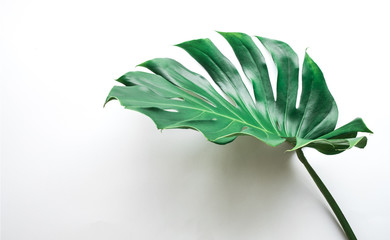 Real monstera leaves on white background.Tropical,botanical nature concepts ideas.flat lay.