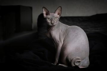 Portrait einer grauen Sphynx Nacktkatze in häuslicher Umgebung.