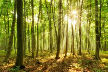 Naturnaher Buchenwald, Sonnenstrahlen brechen durch Morgennebel