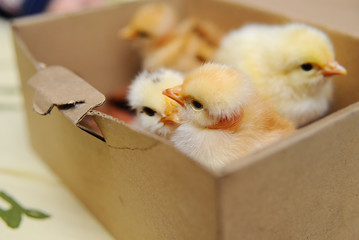 Small chickens in a cardboard box close-up. new life