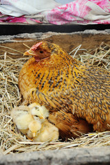 Chicken with small chickens in a hay in the village