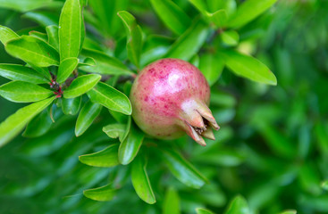 Fruit of a pomegranate on a tree.