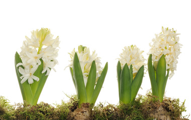 Fototapete - white hyacinth flowers