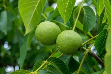 Green walnut on a tree close up