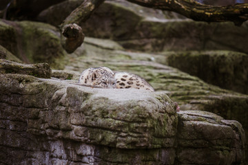 The adult snow leopard lies on a large rock and looks attentively and alert at the Basel Zoo in Switzerland. Cloudy weather in winter