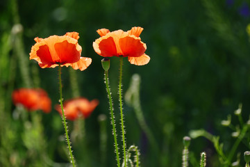 Wall Mural - Red poppies in sunlight