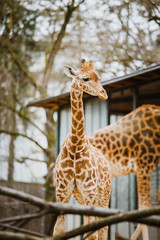 A small child kordofan giraffe rubs against the background of parents in cloudy weather at the Basel Zoo in Switzerland