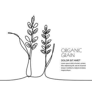 Continuous line drawing. Vector linear illustration of wheat, rice ears and grains isolated on white background. Design elements for agriculture, organic cereal products, bakery.