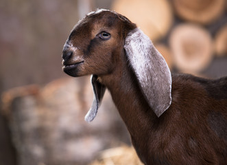 Nubian goat, goat's head in profile close-up