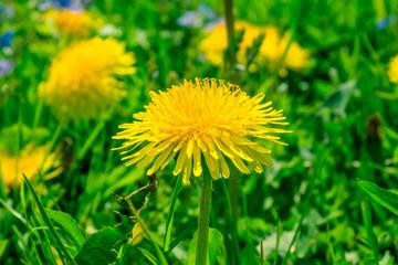 Blossoming dandelion close-up - macro
