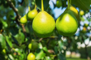 Unripe pears on a branch in the sun