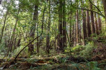The redwood jungle