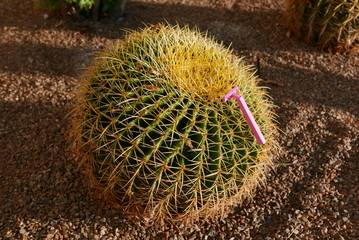 Rosa Einmalrasierer an einem Golden-Barrel-Kaktus