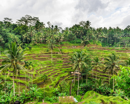 The Rice-fields In Ubud on the island of Bali In Indonesia
