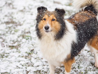 Dog, Shetland sheepdog, collie, standing on winter snow field, covered with white snow.