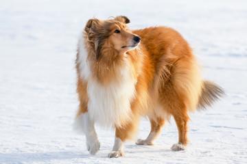 Portrait of collie dog on snow field