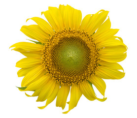 sunflower isolated on white background. clipping path
